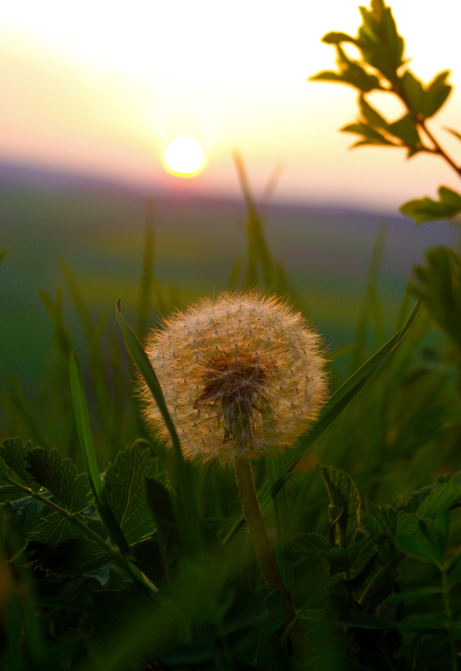 Pusteblume vor Sonnenuntergang